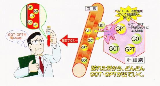 GOT GPT 肝細胞 血管