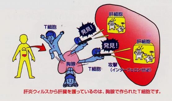 T細胞 胸腺 肝細胞 インターフェロン