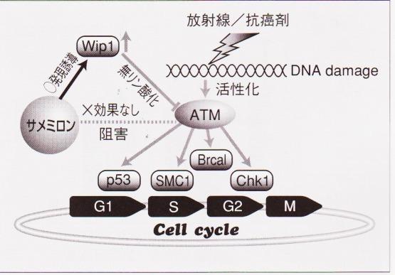 サメミロン DNA損傷修復